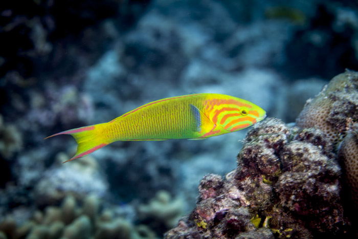 Sunset wrasse