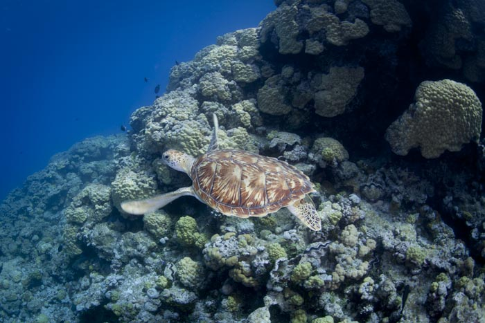 Green turtle in North Minerva Reef lagoon.