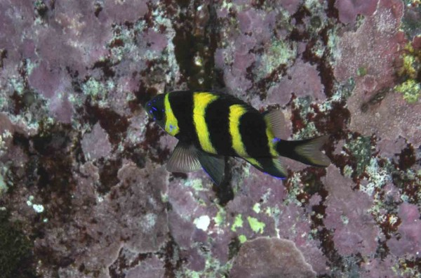 The baby of the family - an 8cm juvenile Kermadec scalyfin © M Francis