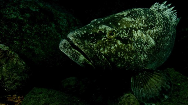Male spotted black grouper.