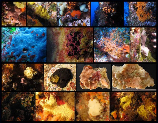 A selection of the sponge biodiversity of the Kermadec Islands.