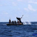 The team attempt to satellite tag a humpback whale off Raoul Island.