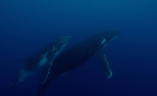 After a long wait this mother and calf humpback whale passed right by Brady and the camera.