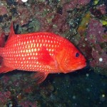 An unidentified soldierfish.